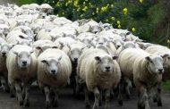 Ние сме най-бедните овце в Европа