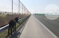 """Магарета на разходка по магистрала """"Тракия"""""""