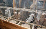 50 000 поискаха официално от парламента забрана на фермите за кожи