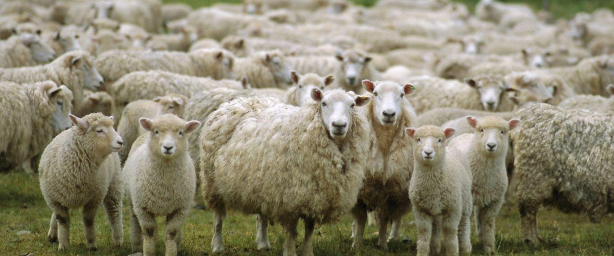 170 земеделци получават над 1 млн. лв. за животните, болни от чума