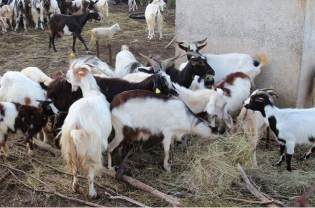 Д-р Дангов: Ако има чума, защо козите на баба Дора са още живи?