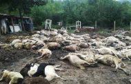 Ужас в Министерски съвет! Служители виждат кози и овце по коридорите.