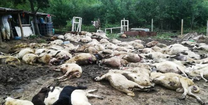 Заменят избитите стада в Странджа с хора