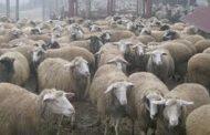 БАБХ: Какво наложи доставката на препарати за диагностика на чума по дребните преживни животни