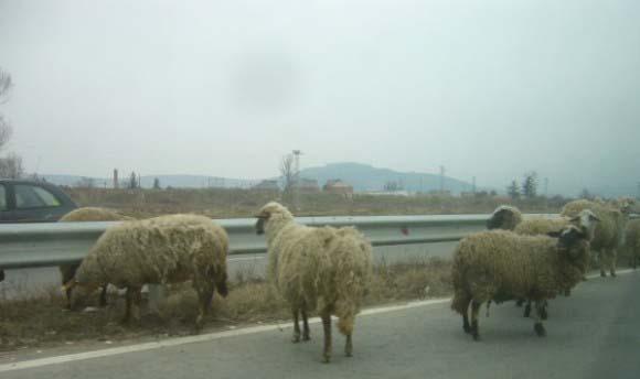 Овца се хлъзна на новия асфалт край Своге и счупи крак