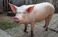 Няма африканска чума по свинете в село Бозвелийско