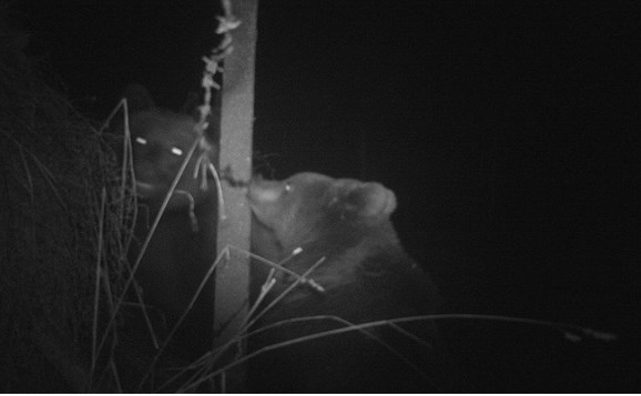 Майка мечка и малко мече са заснети в района на Витоша