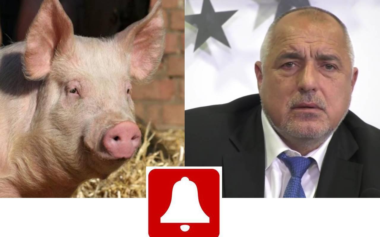 Чума! Бойко Борисов отсече: Давам 3,7 млн. лв. за справяне с разпространението на африканска чума по свинете