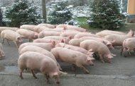 Свинекомплекс в Русенско отказва да умъртвява животни