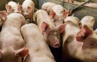 Представител на БАБХ бе набит докато евтанизира свине от стопанина им.