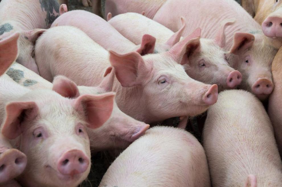 От пловдивските села категорични: Няма да си колим прасетата! Да ни глобяват!
