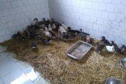 След чумата по свинете, сега ще избият и птиците в България!