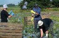 Великобритания е възможно да изхвърлят цялата си земеделска продукция поради липса на българи!