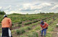Роми, работещи по полето, обвиняват Борисов, че иска да ги изтреби.